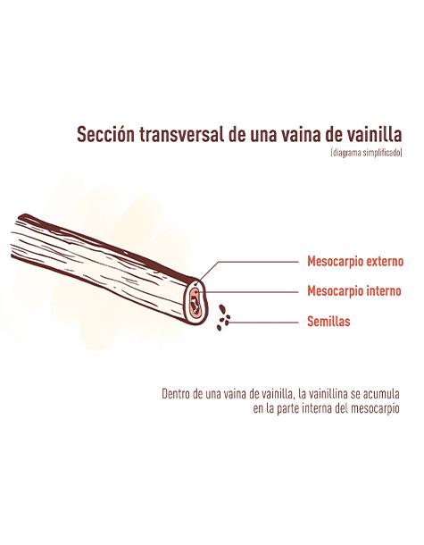 seccion transversal de una vaina de vainilla